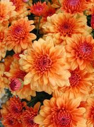 Judys Cottage Garden: Mum's the Word for Fall Color in the Garden