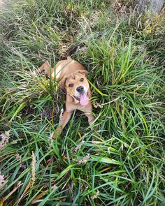 True happiness is rolling around in the long grass. #puppy #mastweiler