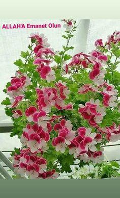 Geranium Plant, Morning Images, Geraniums, Good Morning, Floral Wreath, Photo Wall, Wreaths, Simple, Garden