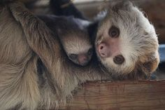 Female Hoffmann's two-toed sloths can carry their young for up to nine months through the forest after birth! #aww #Cutesloths #sloths #boopthesnoot #cuddle #fluffy #animals #aww #socute #puppy #bestfriend #itssofluffy