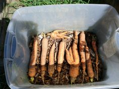 Root Cellaring Carrots | Living the Rustic Life