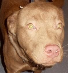 Reggie* is an adoptable Labrador Retriever Dog in Allegan, MI. Reggie came in as a stray and went unclaimed. He is now looking for a new & FOREVER home. Reggie is an energetic boy who's looking for a ...