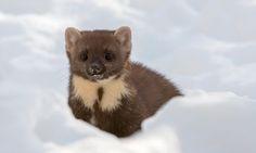 A European pine marten hunts in the snow in Scotland http://ift.tt/2kzjJZB