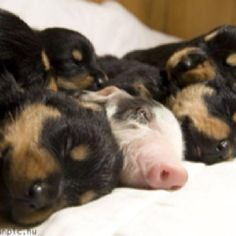 nap time, rottweilers, piglets, animals, puppies, apple sauce, dogs, baby pigs, friend