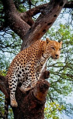 Leopard in a Tree, South Africa