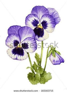 Watercolor with Pansies flower