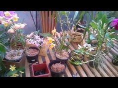 Como multiplicar orquídea Dendrobium com bulbos velhos - YouTube