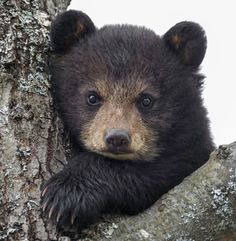 beautiful-wildlife:  Little CubbyDaniel ParentAmerican Black Bear Cub