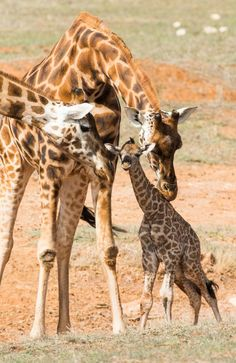Myeisha the giraffe has given birth to Monarto Zoo's first calf in eight years | Adelaide Now  Picture: Matt Loxton