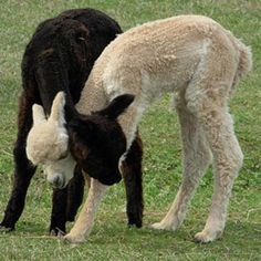 Llamas- At first glance, I thought they were conjoined! Farm Animals, Animals And Pets, Funny Animals, Cute Animals, Alpacas, Beautiful Creatures, Animals Beautiful, Cute Alpaca, American Animals