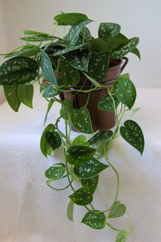 #Philodendron Silver - An easy care, trailing houseplant in a brass container. Plant photography by http://www.plantandflowerinfo.com/