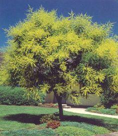 Local Ecologist: Urban Tree of the Year 2011: Goldenrain tree