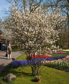 Amelanchier laevis -Allegheny serviceberry Zone: 4 to 8 Height: 15 to 40 feet Spread: 15 to feet Trees And Shrubs, Trees To Plant, Street Trees, Landscaping Trees, Powdery Mildew, Colorful Plants, Woodland Garden, Small Space Gardening, Flowers Perennials