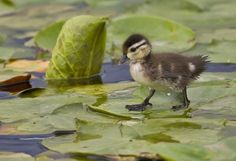 Twitter, Duckling, exploring a lily pad. pic.twitter.com/7rySQCoA5O