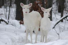 Snow deer, or- It's Snow, Dear.