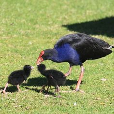 A pukeko is a New Zealand bird