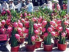 Exotic Fruit, Tropical Fruits, Tropical Garden, Tropical Plants, Dragon Fruit Cactus, Dragon Fruit Pitaya, Como Plantar Pitaya, Weird Fruit, Garden Web