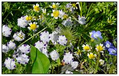 """IT'S A CLASSIC COMBO OF NATIVE CALIFORNIA WILDFLOWERS - WHITE NEMOPHILA MACULATA """"BABY FIVE SPOT"""" AND LIMNANTHES DOUGLASII ALONG WITH THE BLEST OF BLUE ..."""