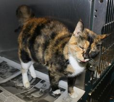 *Available for adoption starting 2/26*  ID# 53129 - Calico Female Unspayed DSH ~1-2yrs old. Found as a stray, very friendly.  Adoption fee $70 - goes towards spay/neuter and 1 yr rabies vaccine. Rowan Cty Shelter (Salisbury, NC) 704-216-7768