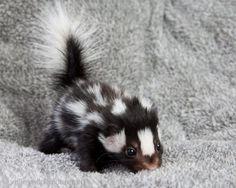 baby skunk... I'd name him/her Perfume (thanks, Lindsay :))