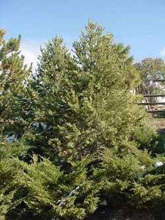 Pinyon Pine - Our Colorado Christmas tree
