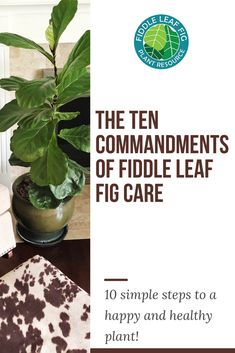 Caring for your fiddle leaf fig can be complex and overwhelming, especially if you are a first time plant owner. Good care makes your plant stronger and more resistant to disease. But poor care creates a downward spiral of sickness and problems. Fig Leaf Tree, Fig Leaves, House Plant Care, House Plants, Ficus Lyrata, Fiddle Leaf Fig Tree, Tree Care, Foliage Plants, Indoor Plants