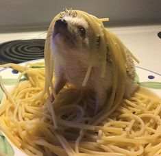 PetsLady's Pick: Funny Spaghetti And Hedgehog Of The Day Cute Little Animals, Cute Funny Animals, Funny Cute, Top Funny, Hilarious, Hedgehog Pet, Cute Hedgehog, Cute Animal Pictures, Funny Pictures