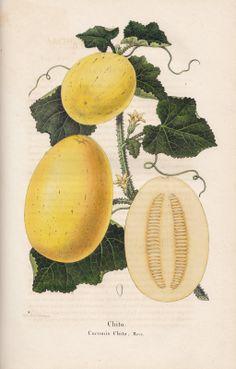 Vintage Printable Melon
