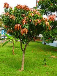 grow a mango tree from your seeds