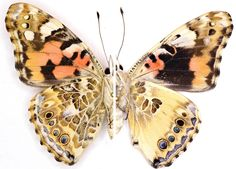 The left side of this Painted Lady butterfly shows a typical specimen's wing, while the right...