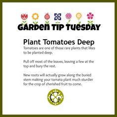 Plant Tomatoes Deep Garden Tip