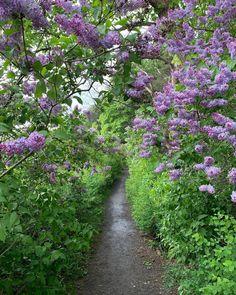 "Barbrovoss on Instagram: ""Fantastisk duft av syriner langs kyststien i Frognerkilen! #summer #oslolove❤️ #visitoslo #bygdøy"" Oslo, Country Roads, Nice, Plants, Plant, Nice France, Planets"