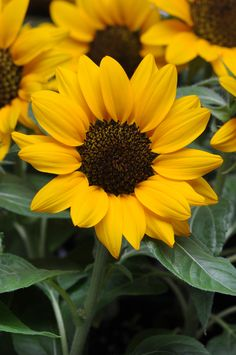 """Sunflower 'Miss Sunshine' Helianthus - A shorter version that would be a perfect addition to any sunny container. Pollen free. Height 15-16""""."""