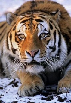 BE_Siberian tiger (Panthera tigris altaica), Captive. Big Cats, Cats And Kittens, Cute Cats, Siamese Cats, Beautiful Cats, Animals Beautiful, Lovely Eyes, Animals And Pets, Cute Animals