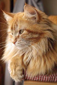 Terrific... Beautiful Persian Cats Images :D