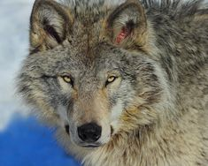 Biggest Timber Wolf Ever Recorded | Timber Wolf Portrait Photograph by Tony Beck - Timber Wolf Portrait ...