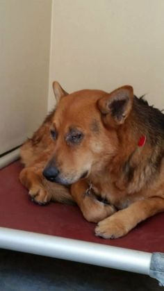BEYOND URGENT!!! PTS AT ANY TIME!!! Pomona CA; Terrified & Defeated Shepherd X w/Skin Issues Affecting Her Eyes **CODE RED** PLEASE HELP!!! TIME CRITICAL!!! ONLY 3 YEARS OLD!!! $400 Pledged so far to any reputable rescue!!! UPDATE 5/3 - This beautiful girl, only 3 years old is still there and living on borrwed time now!!! Can be pts at any time without further notice!!! We need someone to step up and step up now before it is too late!!! Please!!! Skin condition is greatly improved. Please…