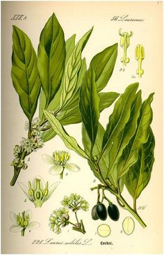 """The Bay laurel tree (species name: Laurus nobilis L.) is the tree that """"Bay leaves"""" (used to give flavor to cooking dishes) come from. Botanical Drawings, Botanical Illustration, Botanical Prints, Healing Herbs, Medicinal Plants, Bay Leaves, Plant Leaves, Laurier Sauce, Tatoo Flowers"""