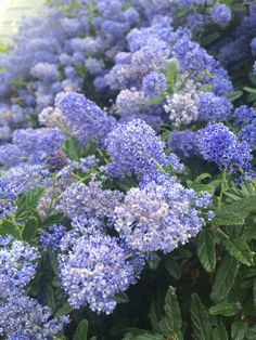 California Lilac (ceanothus species): Your lovely flowering shrub is likely a Ceanothus species, commonly known as California lilac. There are many species and cultivars of this evergreen shrub. All do best in full sun, with no supplemental water once established.   Most have a pleasant fragrance. Evergreen Shrubs, Flowering Shrubs, California Lilac, Lilac Bushes, Fragrance, Sun, This Or That Questions, Vegetables, Garden