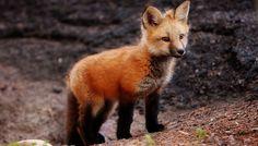 so cute, I now want a fox