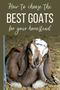 How to choose the best goat breeds for your family and your homestead. Keeping Goats, Raising Goats, Miniature Goats, Small Goat, Goat Pen, Goat Care, Boer Goats, Nigerian Dwarf Goats, Hobby Farms
