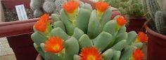 Resultado de imagen para cactus injertados exoticos