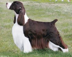 9fedf194de3d2c4ae8b7e1515ac676d8 grooming dogs skirt buck grooming on pinterest english springer spaniels, spaniels oster a5 wiring diagram at bayanpartner.co