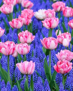 This is a wonderful combination reflecting the best early Spring. Pink peony like flowers combined with dark blue Grape Hyacinths.