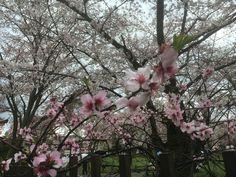 平野神社 almond「アーモンド」