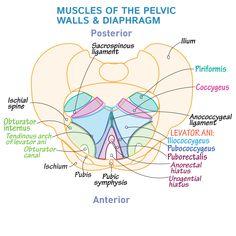 Pelvis Anatomy, Yoga Anatomy, Human Anatomy And Physiology, Muscle Anatomy, Anatomy Study, Levator Ani, Medicine Notes, Gross Anatomy, Medical Anatomy