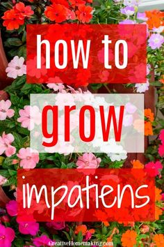 How To Plant And Grow Impatiens Flowers From Seed. Impatiens Are Great Flowers For Growing In Pots, Containers, And Hanging Flower Baskets. Impatiens Flowers, Flowers Perennials, Cottage Garden Design, Cottage Garden Plants, Cottage Gardens, Hanging Flower Baskets, Hanging Plants, Flower Seeds, Gardens