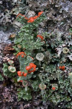 You will travel into the magical world of lichen through macrophotography. Macrophotography will allow you to view details of lichen that we would not otherwise be able to observe. You will see various types of lichen that come in a varied assortment of colors, textures and shapes.