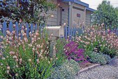 Salvia Leucantha, Mexican Bush Sage, Lamb's ears, Stachys Byzantina, Gaura Lindheimeri, Beeblossom, Whirling Butterflies