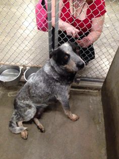 OWNER SURRENDER** URGENT--AVAILABLE NOW 4/24! Heeler female (just had pups) 2-3 years old. Needs out today!!! She is crying! Odessa, Texas animal Control. Message us if you can foster or GO ADOPT!!! SHE WILL BE FIRST IN LINE FOR EUTHANIZATION IF SHE'S NOT ADOPTED SOON. https://www.facebook.com/speakingupforthosewhocant/photos/a.573572332667009.1073741829.248355401855372/764186280272279/?type=1&theater